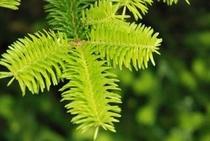 中津明神山 もみの木 若菜が生き生きしている