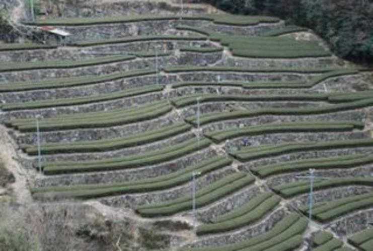 チャバタケ 仁淀川町の急傾斜地のお茶畑はその地形によっていろんなカタチになる3