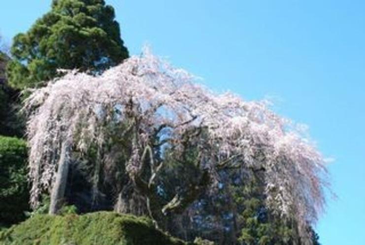 別枝地区の中越家のしだれ桜