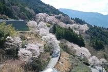ひょうたん桜の咲くエリアの全景