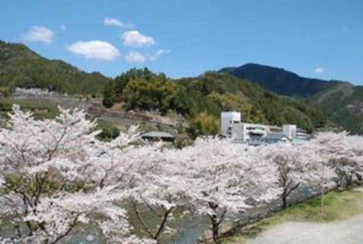 仁淀川支流の土居川の美しい所の桜3