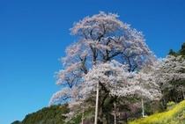 樹齢500年のひょうたん桜