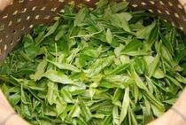 清流・仁淀川のほとりで元気に育った茶葉たち