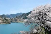 仁淀川町の大渡ダム湖畔の桜