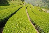 お茶畑in仁淀川町加枝地区