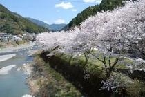 仁淀川支流の土居川の美しい所の桜1
