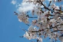 仁淀川町の大渡ダム湖畔の桜 ズーム