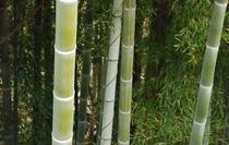 仁淀川の清らかさを保つのは森である その中に竹林もある