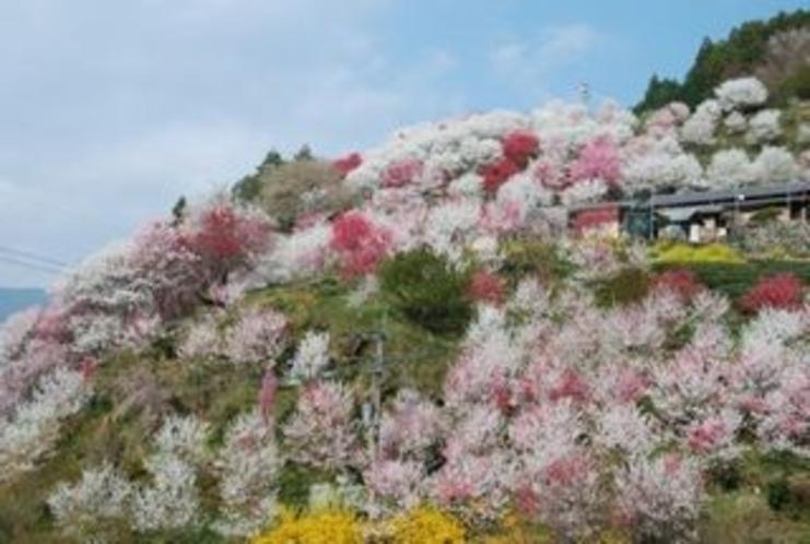 仁淀川町上久喜地区は桃の花の国