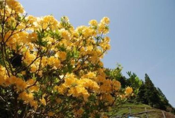黄色いツツジin仁淀川町加枝地区