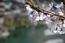 北浦ふれあい公園の桜 仁淀川支流の土居川の美しい所の桜 ズーム