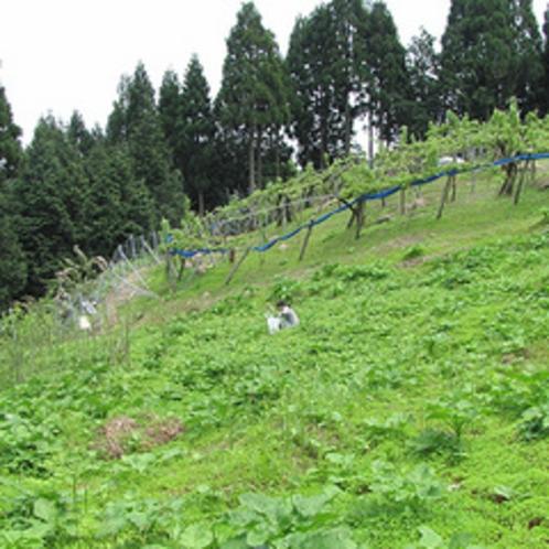 「わらび」は、親戚が所有する「近くの山の中腹で、採取」します