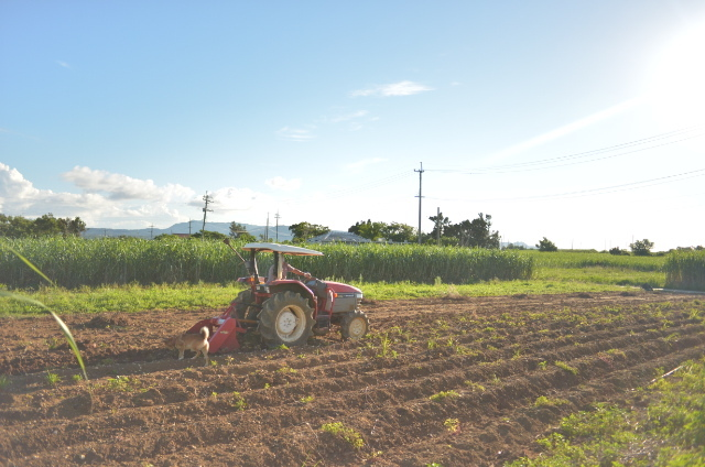 紅芋を収穫