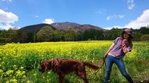 黒姫高原の菜の花