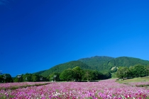 黒姫高原コスモス園