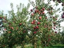 信州でリンゴ狩り