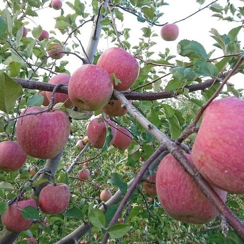 長野でリンゴ狩