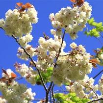 【春】御衣黄桜イメージ