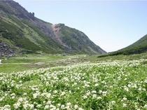 乗鞍岳・畳平の花畑