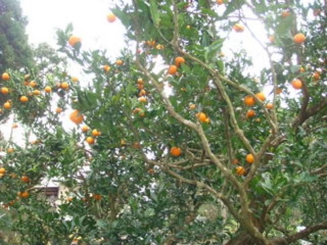 たんかんの木