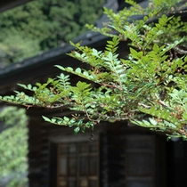 香りのよい山椒の木