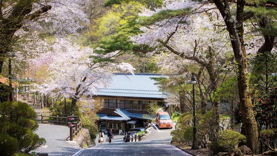桜の頃 県道からの坂を下ってお大沢温泉へ