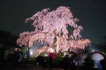 円山公園 しだれ桜ライトアップ