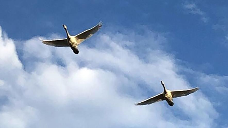 *瓢湖の白鳥/季節限定、冬の妖精 白鳥が瓢湖に訪れます。