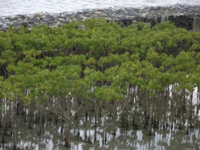河口付近に自生するメヒルギ