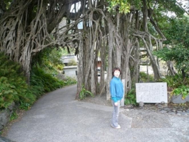 屋久島一のガジュマルの大木