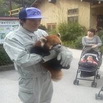 長野県茶臼山動物園では、運が良ければレッサーパンダが まじかで見れます。