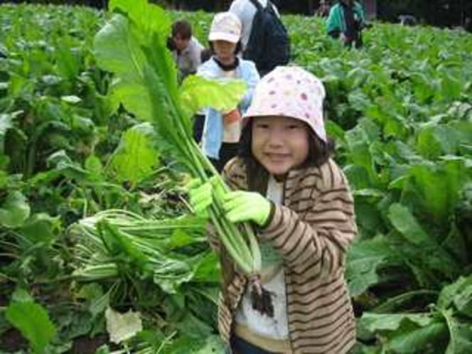 野沢菜収穫