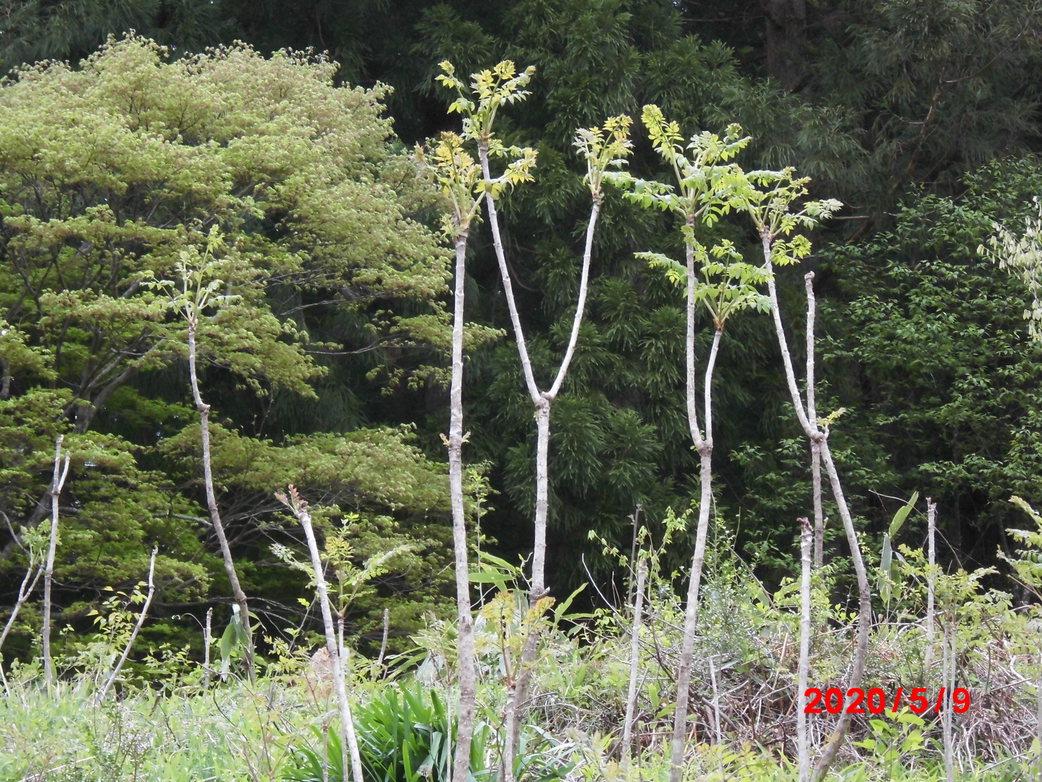 5月のタラの芽