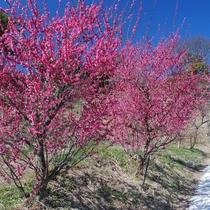 【広田の梅林】南光・鶯宿など12種約450本の梅が見られる