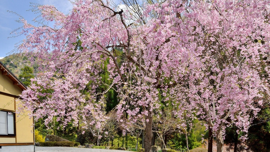 当館自慢のしだれ桜をどうぞご覧ください。