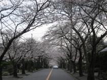 伊豆高原桜並木