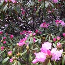 【周辺】石楠花