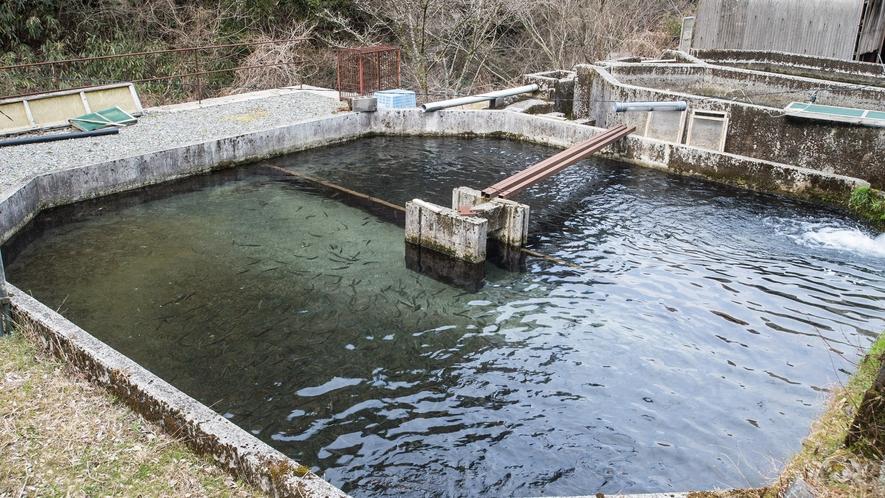 *【屋外施設/山女魚の養殖場】時間をかけて大切に育てられた山女魚