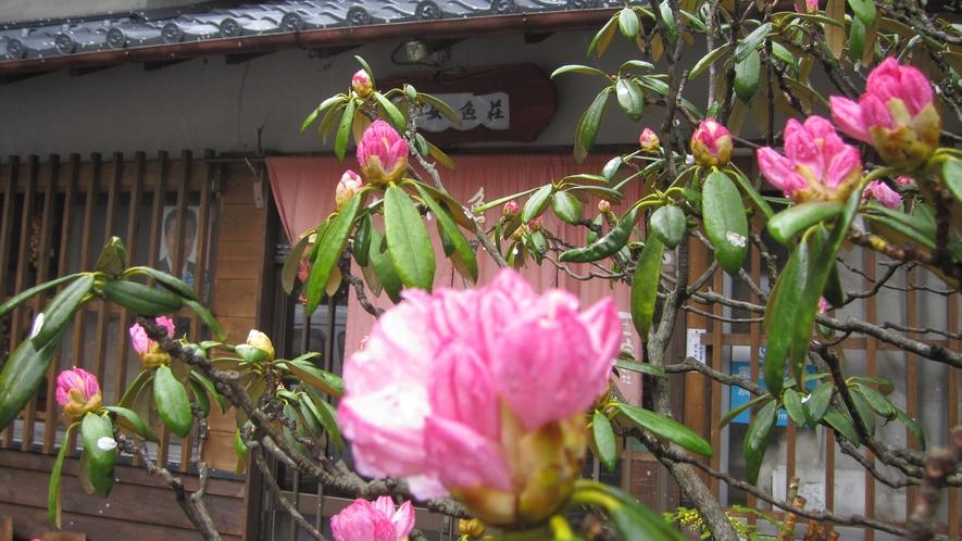 *【周辺】鮮やかな色の石楠花(シャクナゲ)が咲き誇ります。