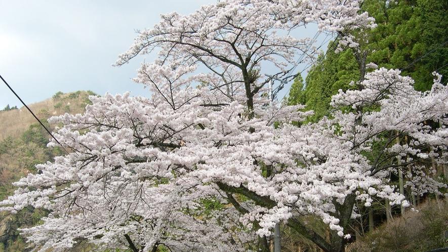 *【周辺】桜