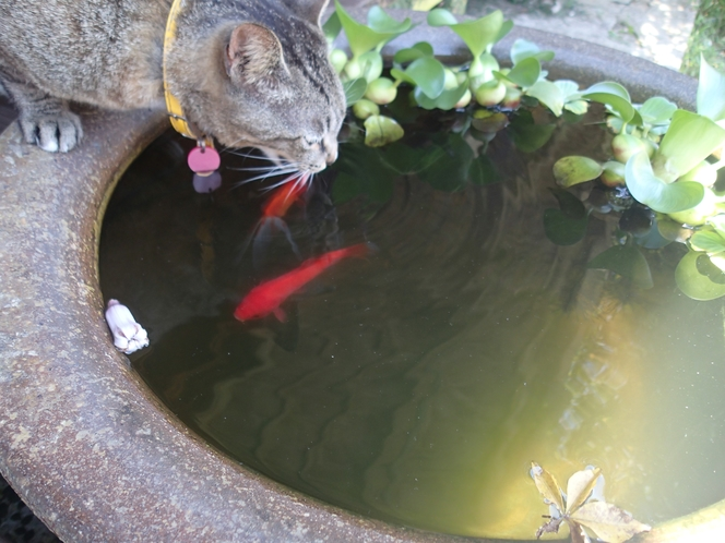 金魚とダヤン2