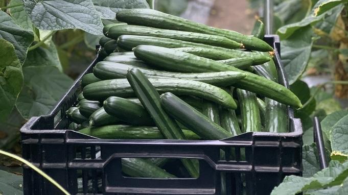 【楽天トラベルセール】【但馬の魅力体験プラン】新鮮☆旬野菜収穫体験IN出石プラン