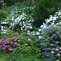 近隣の紫陽花