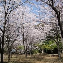 近隣の為松公園(桜)