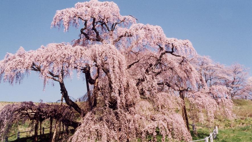 *三春滝桜