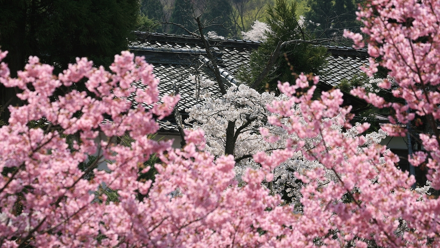たくさんの桜に囲まれる花屋