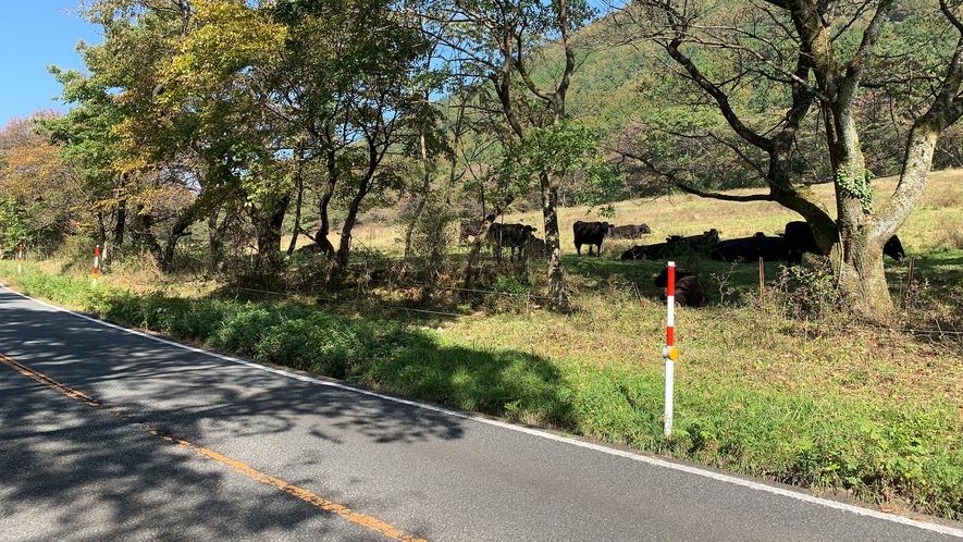 県道沿いの放牧牛