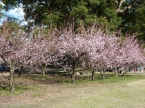 古代の森会館の梅
