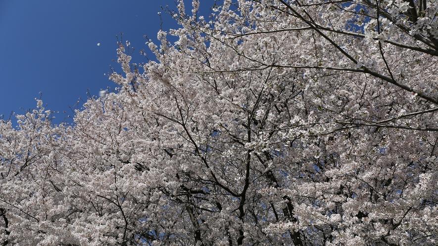 【周辺観光】幸手権現堂の桜