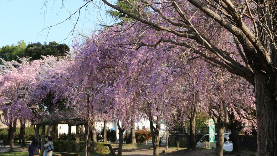 【周辺観光】太田公園の桜
